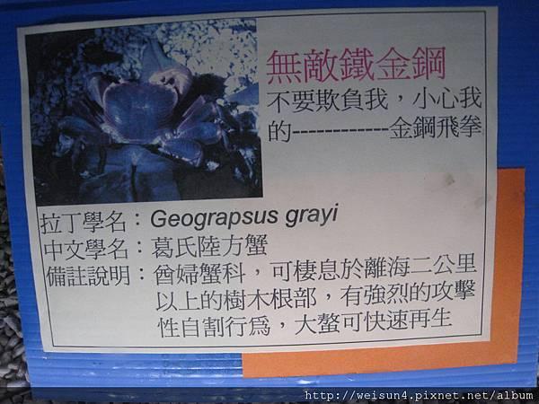 IMG_4592_葛氏陸方蟹