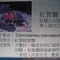 IMG_4603_紅螯螳臂蟹