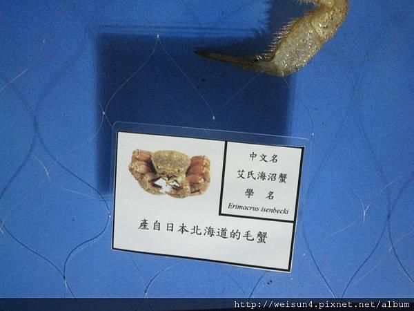 IMG_4612_伊氏毛甲蟹