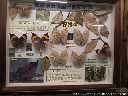 DSCN4780_台灣蝴蝶_枯葉蝶
