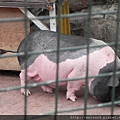 DSCN5138_麝香豬