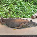 DSCN5156_綠鬣蜥
