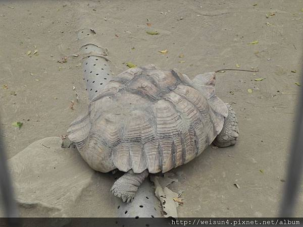 DSCN5170_亞達伯拉象龜