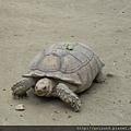 DSCN5173_蘇卡達象龜