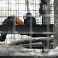 DSCN5184_巨嘴鳥