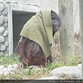 DSCN5215_紅毛猩猩