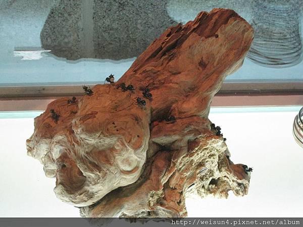 琉園水晶博物館_IMG_7906_枯木上的螞蟻