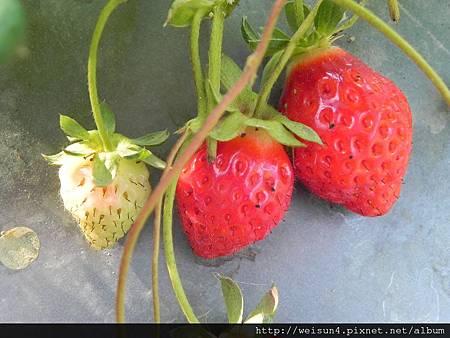 DSCN8361_草莓