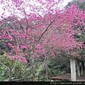 大山背_DSCN9868_山櫻花