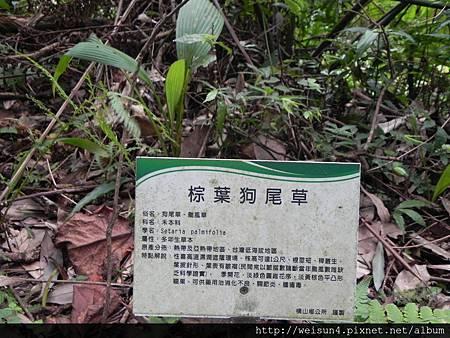 大山背_DSCN9978_棕葉狗尾草_看板(颱風草)