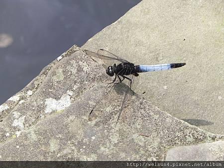 紅薔薇_DSCN9005_蜻蜓_鼎脈蜻蜓