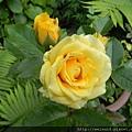 紅薔薇_DSCN9044_黃玫瑰
