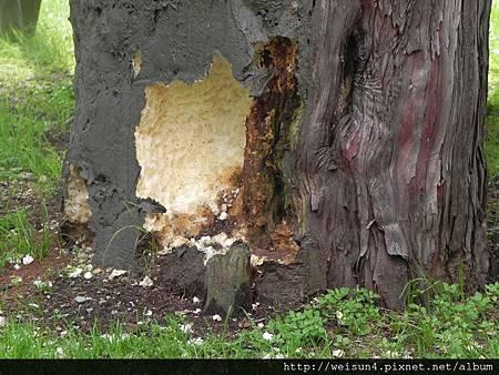 舊道廳_DSCN1328_舊道廳_烏鴉啄樹