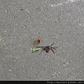 蜜蜂&蜘蛛-1_20090705_獅頭山