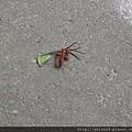 蜜蜂&蜘蛛-2_20090705_獅頭山