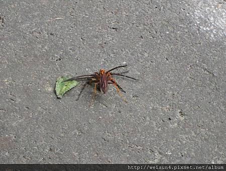 蜜蜂&蜘蛛-3_20090705_獅頭山