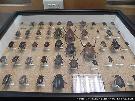 清大_DSCN7762_甲蟲標本