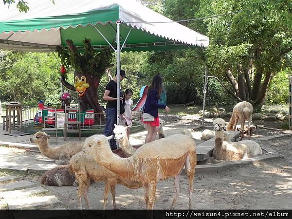 天馬牧場_DSCN0063_羊駝(草泥馬)