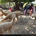天馬牧場_DSCN0076_羊駝(草泥馬)