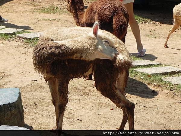天馬牧場_DSCN0081_羊駝(草泥馬)