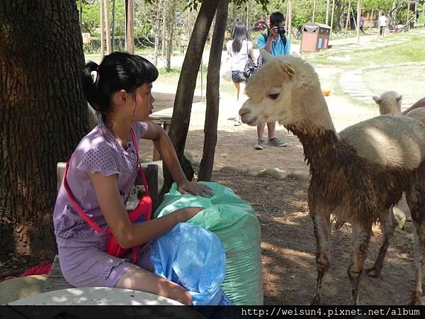 天馬牧場_DSCN0122_羊駝(草泥馬)