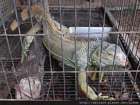 天馬牧場_DSCN9816_綠鬣蜥