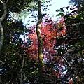 馬那邦山_DSCN3587_樹_紅槭