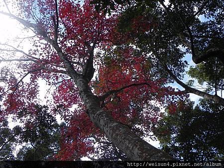 馬那邦山_DSCN3628_樹_紅槭