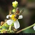 昆蟲綱_膜翅目_蜜蜂科_義大利蜂_20070220_(Jeff)