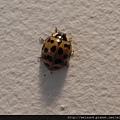 昆蟲綱_鞘翅目_瓢蟲科__日本-北海道_20100809