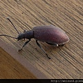昆蟲綱_鞘翅目_擬金花蟲科_擬金花蟲_20130217_竹北-頭前溪河堤