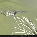 昆蟲綱_蜻蛉目_蜻蜓科_黃紉蜻蜓_苗栗-鹿廚坑_20130505