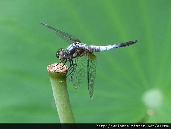 昆蟲綱_蜻蛉目_蜻蜓科_橙斑蜻蜓_新竹-科學園區_20130612