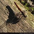 昆蟲綱_蜻蛉目_蜻蜓科_金黃蜻蜓-雌_苗縣_獅頭山_20131013.JPG