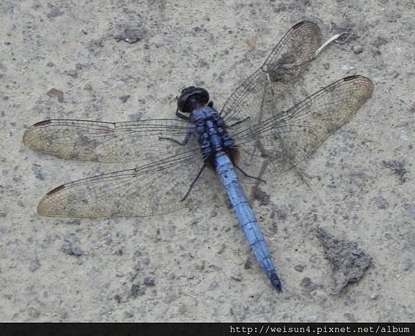 昆蟲綱_蜻蛉目_蜻蜓科_金黃蜻蜓-雄_竹縣-飛龍步道_20140602.JPG