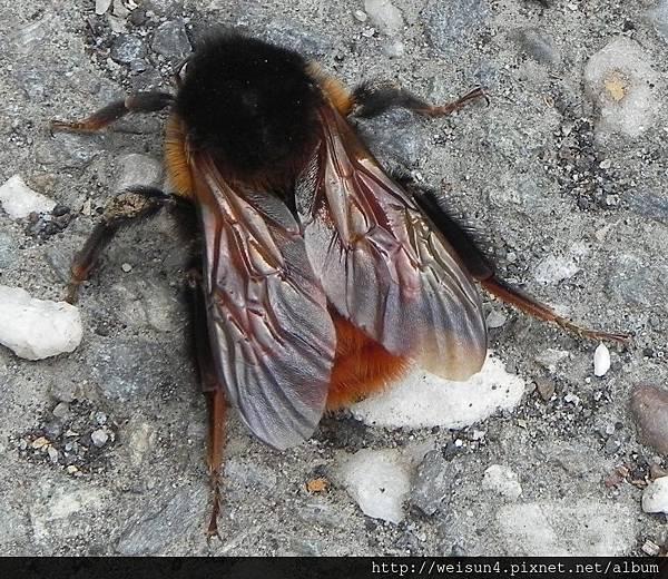 昆蟲綱_膜翅目_熊蜂科_雙色熊蜂_桃園-巴陵_20150225.JPG