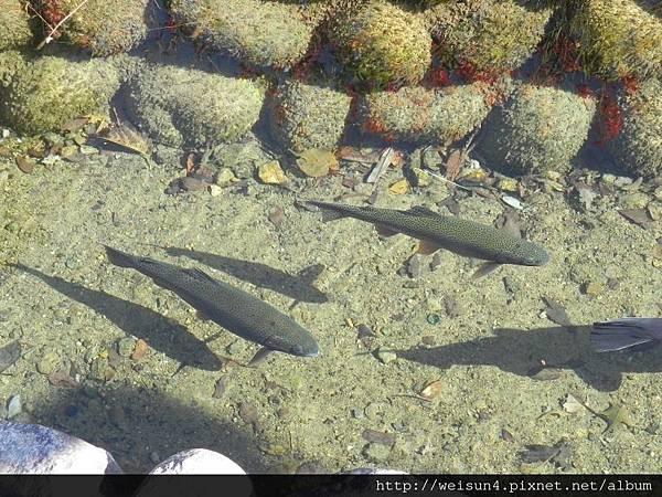 北陸_DSCN0984_鱒魚.JPG