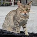 哺乳綱_食肉目_貓科_貓屬_斑貓_20120826.JPG
