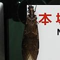 昆蟲綱_脈翅目_魚蛉科_黃紋魚蛉_苗縣-向天湖_20180729.JPG