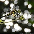 昆蟲綱_蜻蛉目_蜻蜓科_扶桑蜻蜓-雌_苗縣-勝興車站_20200716.JPG