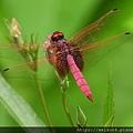 昆蟲綱_蜻蛉目_蜻蜓科_紫紅蜻蜓-雄_竹縣-箭竹窩_20200827.JPG