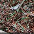 甲殼綱_十足目_梭子蟹科_蟳屬_鏽斑蟳_20201029_基隆-和平島.JPG