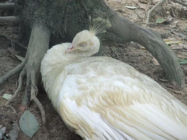 DSCF4779 白孔雀.JPG