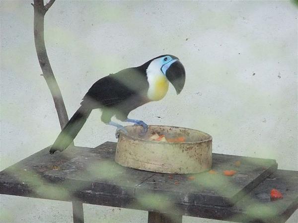 DSCF4887  藍面巨嘴鳥 凹嘴巨嘴鳥.JPG