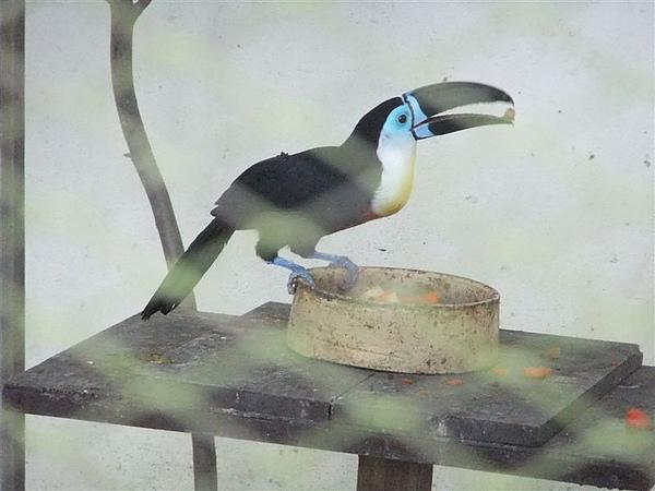 DSCF4888  藍面巨嘴鳥 凹嘴巨嘴鳥.JPG