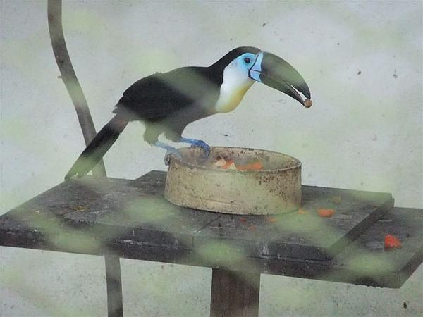 DSCF4886 藍面巨嘴鳥 凹嘴巨嘴鳥.JPG