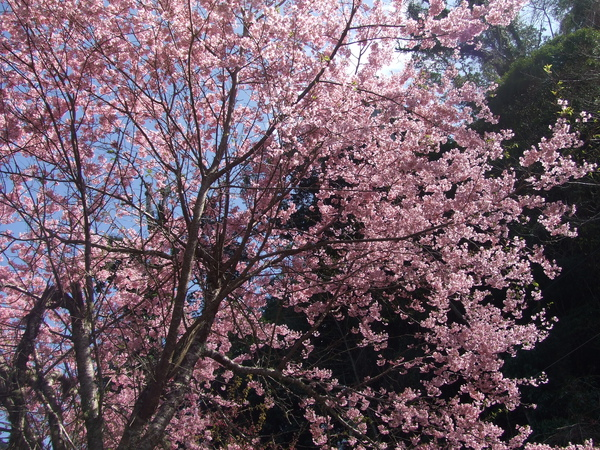 拉拉山美麗的櫻花
