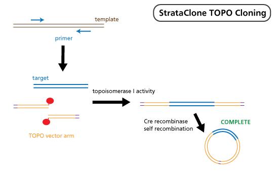 StrataClone TOPO Cloning