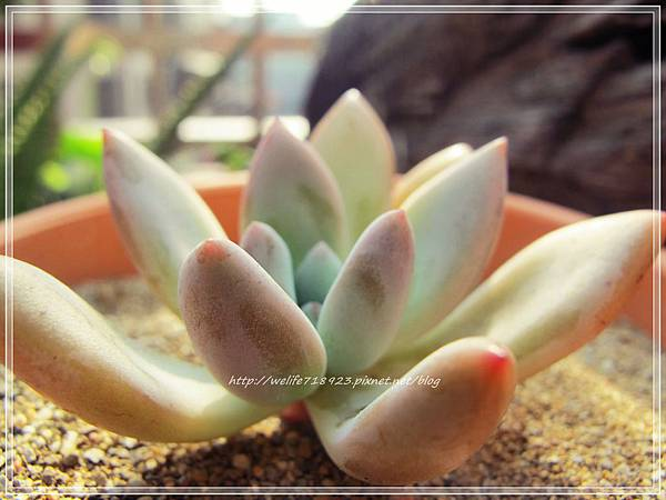 00060-01《Graptoveria Opalina》