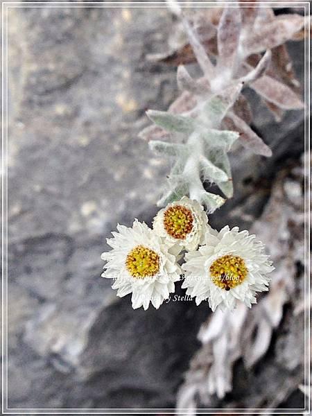 00077-01《傳說中的小白花》.jpg